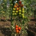 Rajčata polní